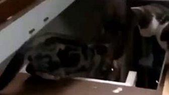 Komik Kedi Videosu